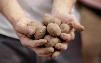 Récoltes de Pommes de Terre à Vottem: le pari réussi d'un liégeois engagé
